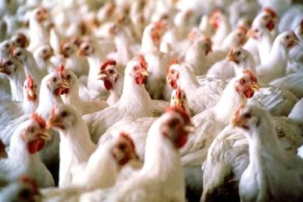المغرب سيستورد قريبا لقاح أنفلونزا الطيور من إيطاليا وفرنسا والولايات المتحدة