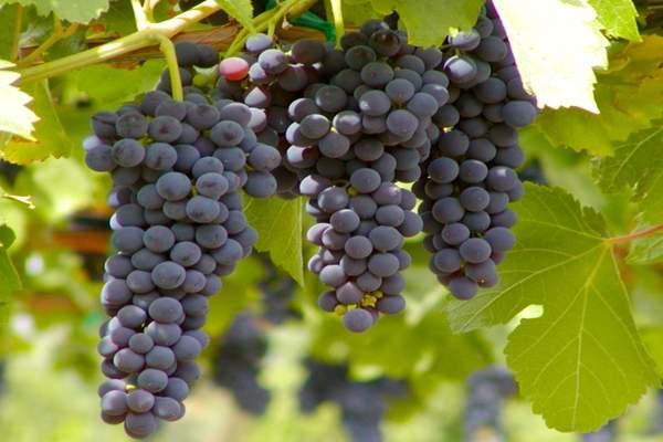 تناول فاكهة العنب مرتين في اليوم يحمي من الإصابة بمرض الزهايمر