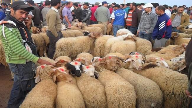 الوزارة تطمئن المغاربة بخصوص عدد الأغنام في السوق وهذه هي وضعيتها الصحية!