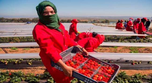 إسبانيا تستعد لاستقبال أزيد من 10 الاف مغربية للعمل في حقول الفراولة