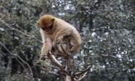 مشروع لمكافحة الأخذ غير المشروع لقرود المكاك بالمنتزه الوطني لإفران