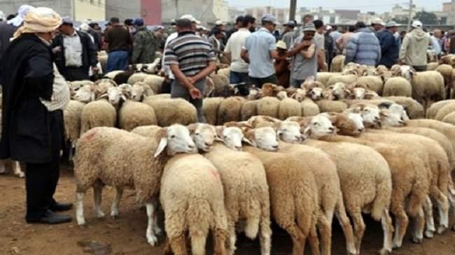 وزارة أخنوش تستعد لكي لا تتكرر مأساة المواطنين مع الأضاحي