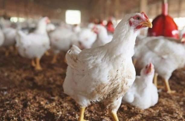 بعد ضجة لحوم الدواجن المستوردة من أمريكا..الفيديرالية البيمهنية: اللحوم لم تصل بعد وستكون مصحوبة بشهادة صحية
