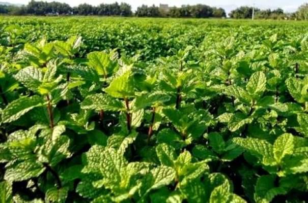 مكتب السلامة الصحية يتلف محاصيل نعناع ملوثة بمراكش