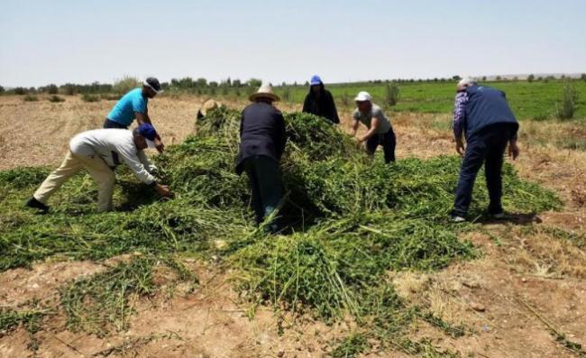 مكتب السلامة الصحية يتلف محاصيل النعناع الملوثة بهذه المدن