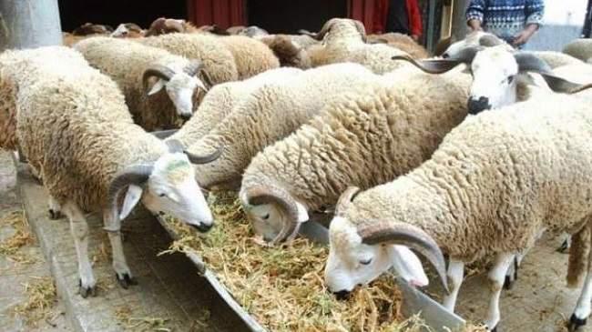 هام للمغاربة..8 ملايين رأسا و30 سوقا لبيع أغنام عيد الأضحى