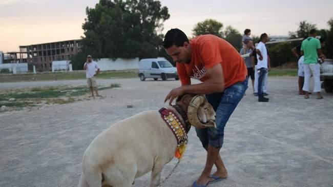 مصارعة الأكباش: تراث أمازيغي متواصل