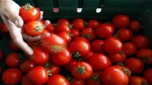 الطماطم المغربية تدرّ 481 مليون أورو وفرنسا الزبون الأول