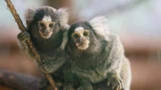 ولادة اثنين من القردة ذات الفرشاة البيضاء في أكادير